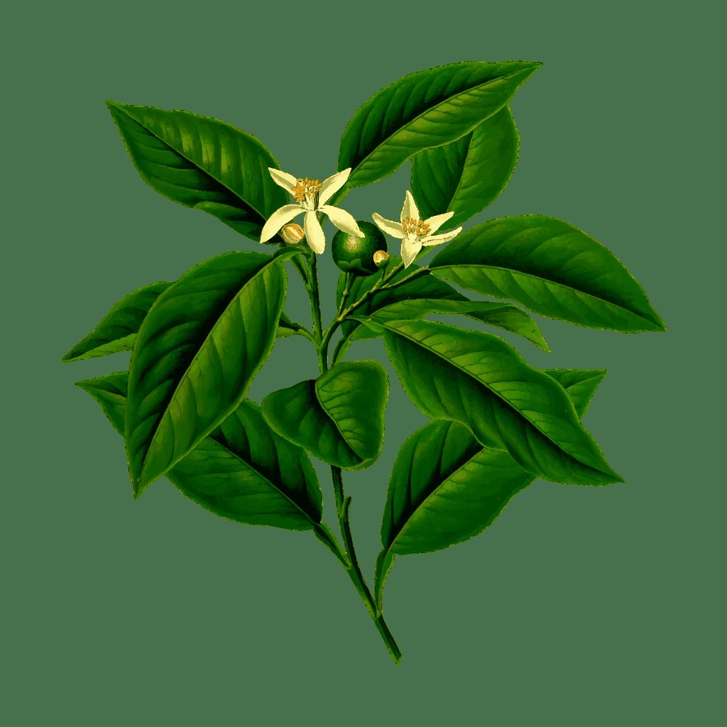 citrus plant tekening